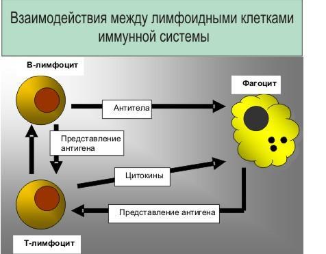 Рис. 4 spid В B-лимфоцитах синтезируются антитела ...