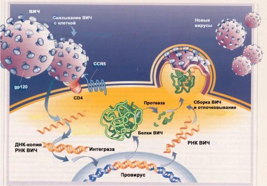 ...ВИЧ осуществляет ряд превращений, в результате которых происходит его размножение и гибель клетки-хозяина.